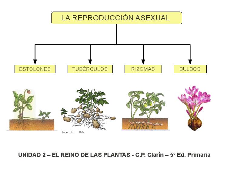 Multiplication vegetativa reproduccion asexual de las plantas